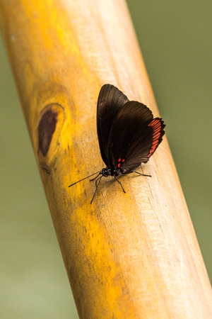 biblis: Red rim butterfly perched on wooden rail