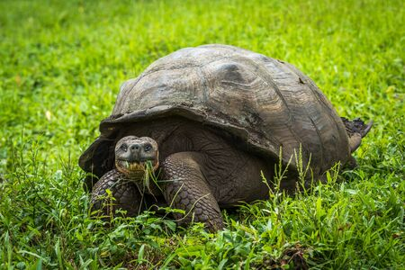 galapagos: Galapagos giant tortoise eating grass in field