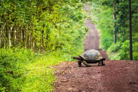 animal tracks: Galapagos giant tortoise crossing straight dirt road