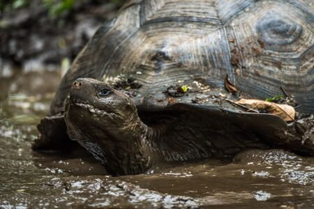 wallowing: Galapagos giant tortoise wallowing in muddy pond