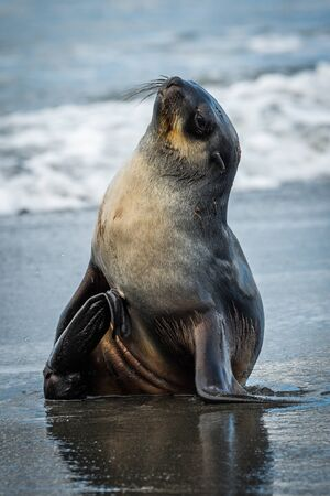 antarctic: Antarctic fur seal on wet sandy beach Stock Photo