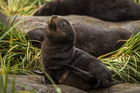 antarctic: Antarctic fur seal pup on grassy rock