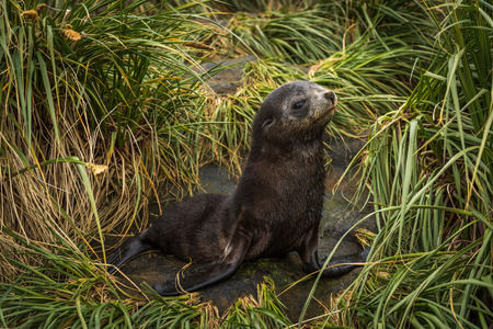 antarctic: Antarctic fur seal pup in tussock grass Stock Photo