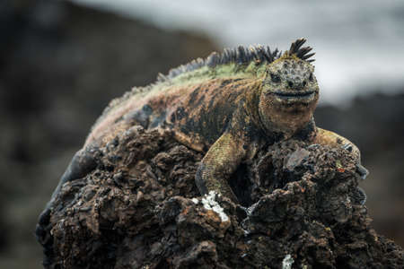 volcanic rock: Marine iguana perched high on volcanic rock Stock Photo