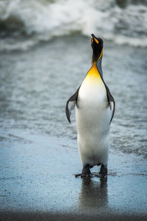 King penguin stretching out flippers on beach
