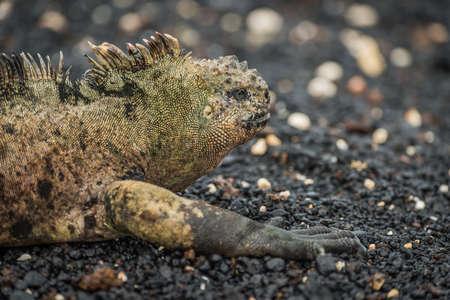 shingle beach: Marine iguana lying on black shingle beach