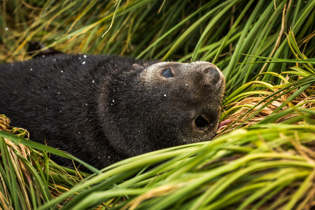antarctic: Close-up of Antarctic fur seal pup upside-down