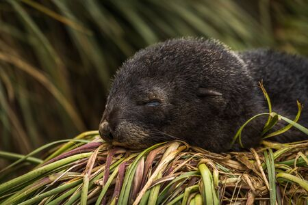 antarctic: Antarctic fur seal pup asleep on grass