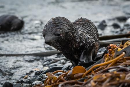 bedraggled: Bedraggled Antarctic fur seal pup on beach