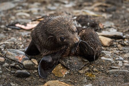 antarctic: Antarctic fur seal pup scratching with flipper Stock Photo