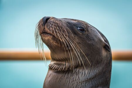 galapagos: Close-up of Galapagos sea lion by railing