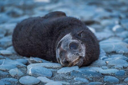shingle beach: Antarctic fur seal pup on shingle beach