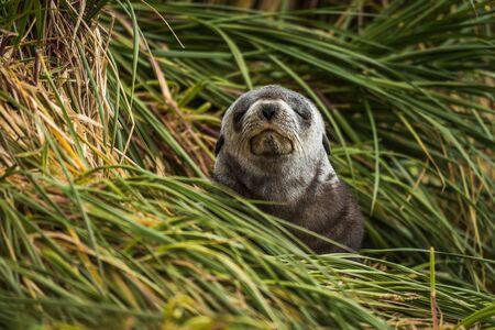 'eyes shut: Grey Antarctic fur seal with eyes shut Stock Photo