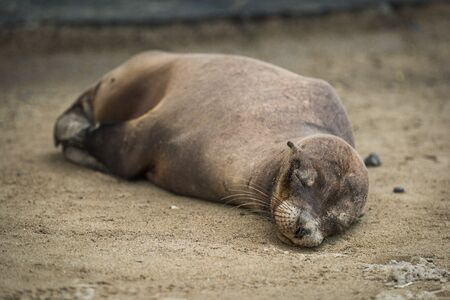 galapagos: Galapagos sea lion sleeps on sandy beach Stock Photo