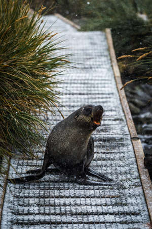 antarctic: Antarctic fur seal on walkway in snow Stock Photo