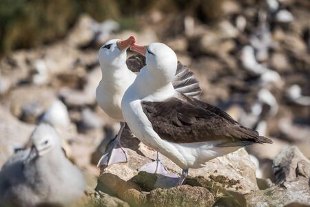 courting: Pair of courting black-browed albatross touching beaks