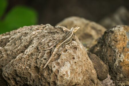 perched: Lava lizard perched on brown volcanic rock