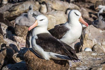 nesting: Pair of black-browed albatross nesting in colony Stock Photo