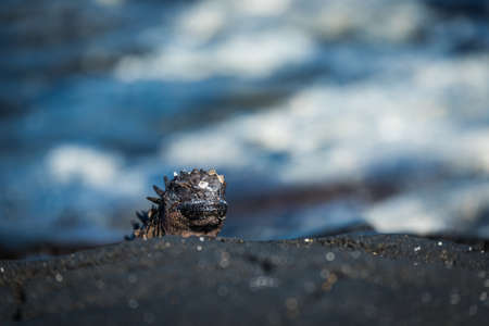 poking: Marine iguana poking its head above rock