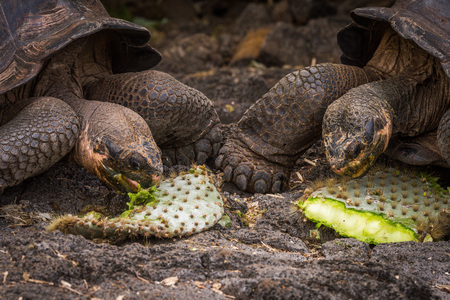 Two Galapagos giant tortoises chewing cactus leaves