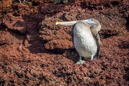 volcanic rock: Brown pelican perched on brown volcanic rock