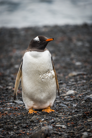 gentoo: Gentoo penguin looking at camera on shingle