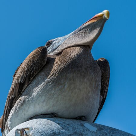 perched: Brown pelican perched on streetlamp from below