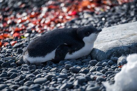 shingle: Adelie penguin in sunshine lying on shingle