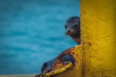 sea lion: Galapagos sea lion peeping out behind post