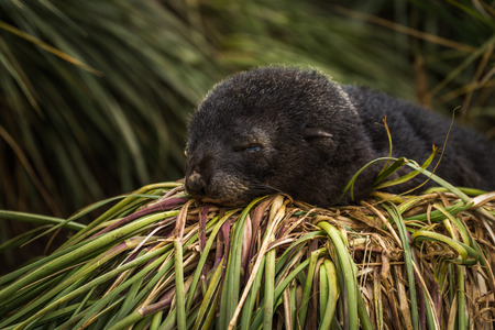 antarctic: Antarctic fur seal pup sleeping in grass Stock Photo