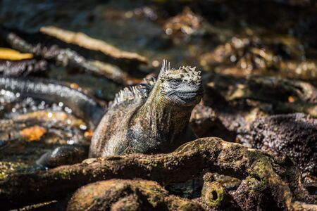 dappled: A marine iguana is lying in dappled sunlight among rocks, leaves and moss-covered tree roots Stock Photo