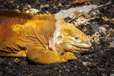 volcanic: Land iguana lying on black volcanic rocks