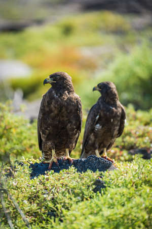 talons: Pair of Galapagos hawks with heads turned Stock Photo