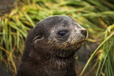 antarctic: Antarctic fur seal pup close-up in grass Stock Photo