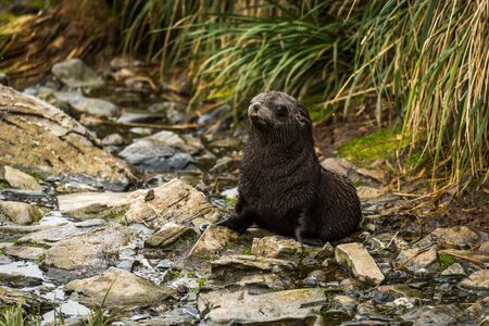 antarctic: Antarctic fur seal pup sitting in riverbed