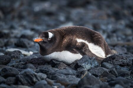 pygoscelis papua: Gentoo penguin lying on black rocky beach