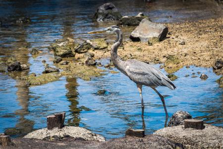 gray herons: Great blue heron wading slowly through shallows