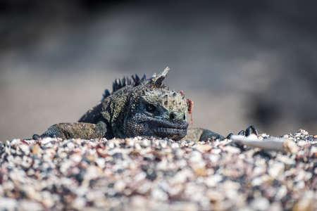 poking: Marine iguana poking head over shingle ridge