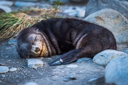 stony: Antarctic fur seal asleep on stony beach