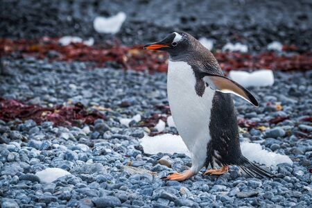shingle: Gentoo penguin waddling along seaweed-strewn shingle beach Stock Photo