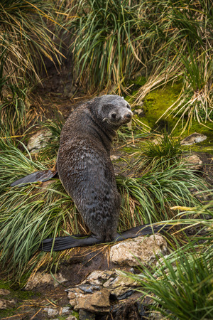 antarctic: Antarctic fur seal looking back in grass