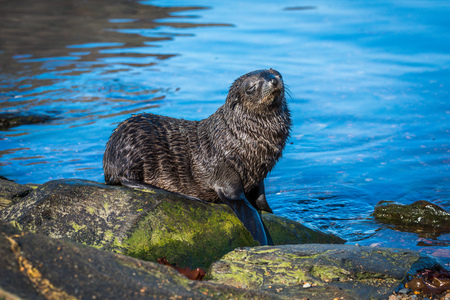 Antarctic fur seal pup on mossy rock Stock Photo