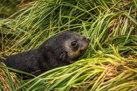 pup: Close-up of cute Antarctic fur seal pup Stock Photo