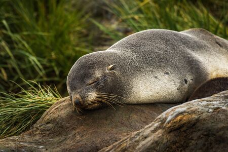 antarctic: Antarctic fur seal sleeping in tussock grass