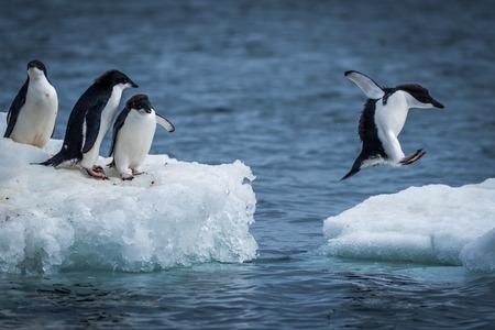salto del pingüino de Adelia entre dos témpanos de hielo