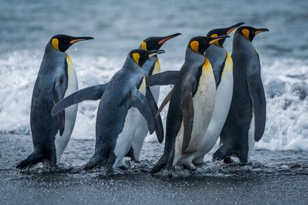 king penguins: Six king penguins rushing towards sea together