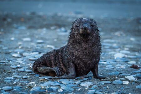 shingle beach: Wet Antarctic fur seal on shingle beach