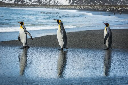 king penguins: Three king penguins with reflections on beach