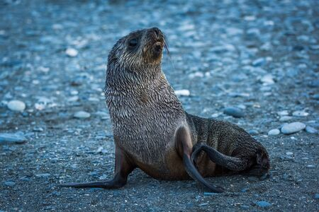 antarctic: Wet Antarctic fur seal on stony beach