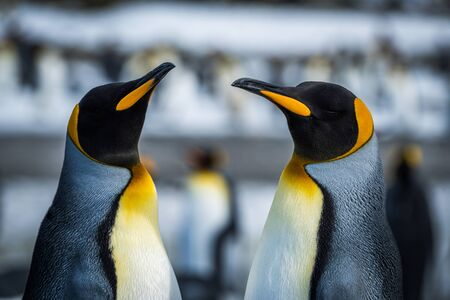 king penguins: Close-up of two king penguins in colony